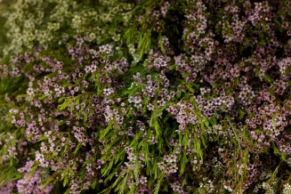 Waxflower Mullering Brook