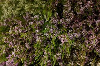 Waxflower Mullering Brook