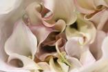Mini Calla Lily Lavender Blush