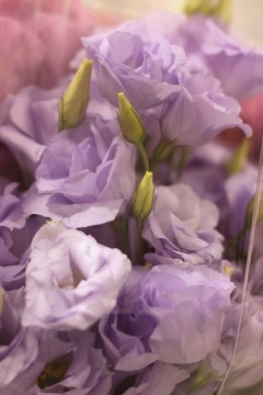 Lisianthus Lavender