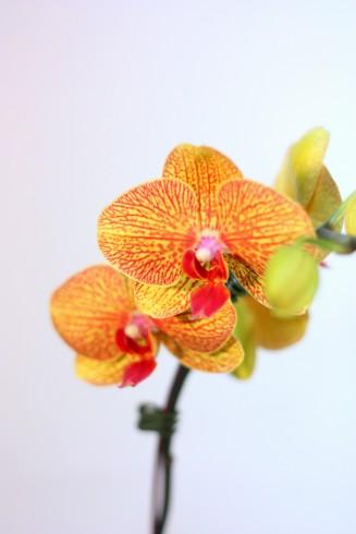 Spring Sunshine Phalaenopsis