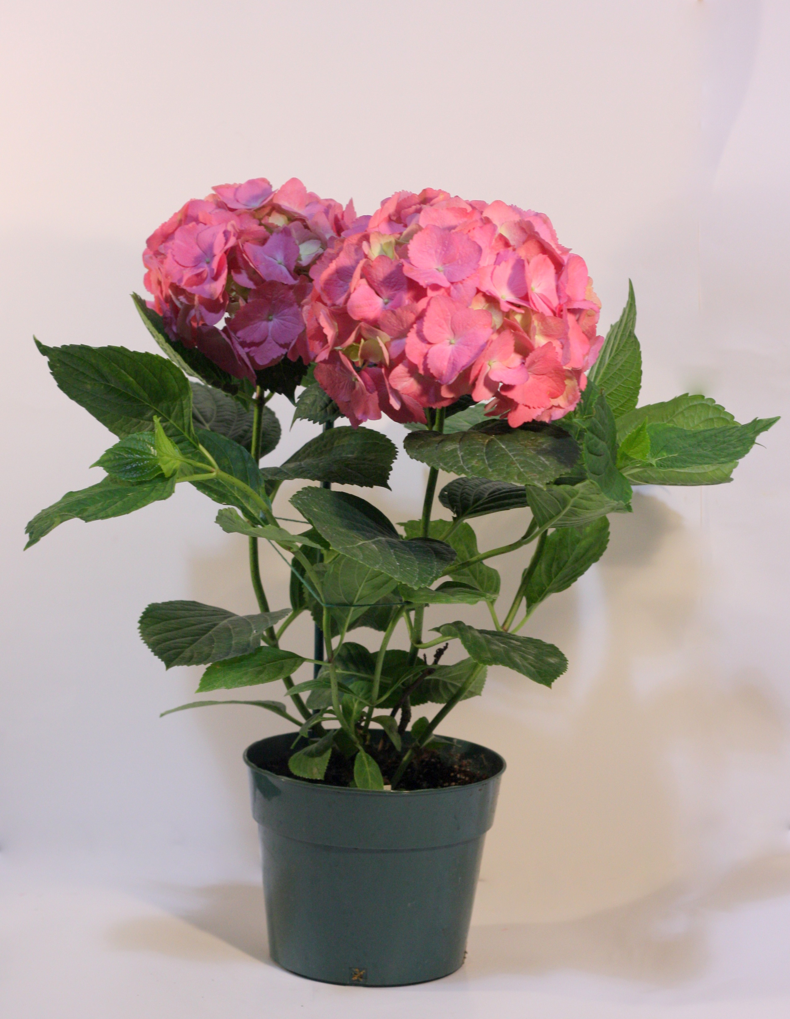 How can you change the color of hydrangeas pennock floral for Can you dye roses