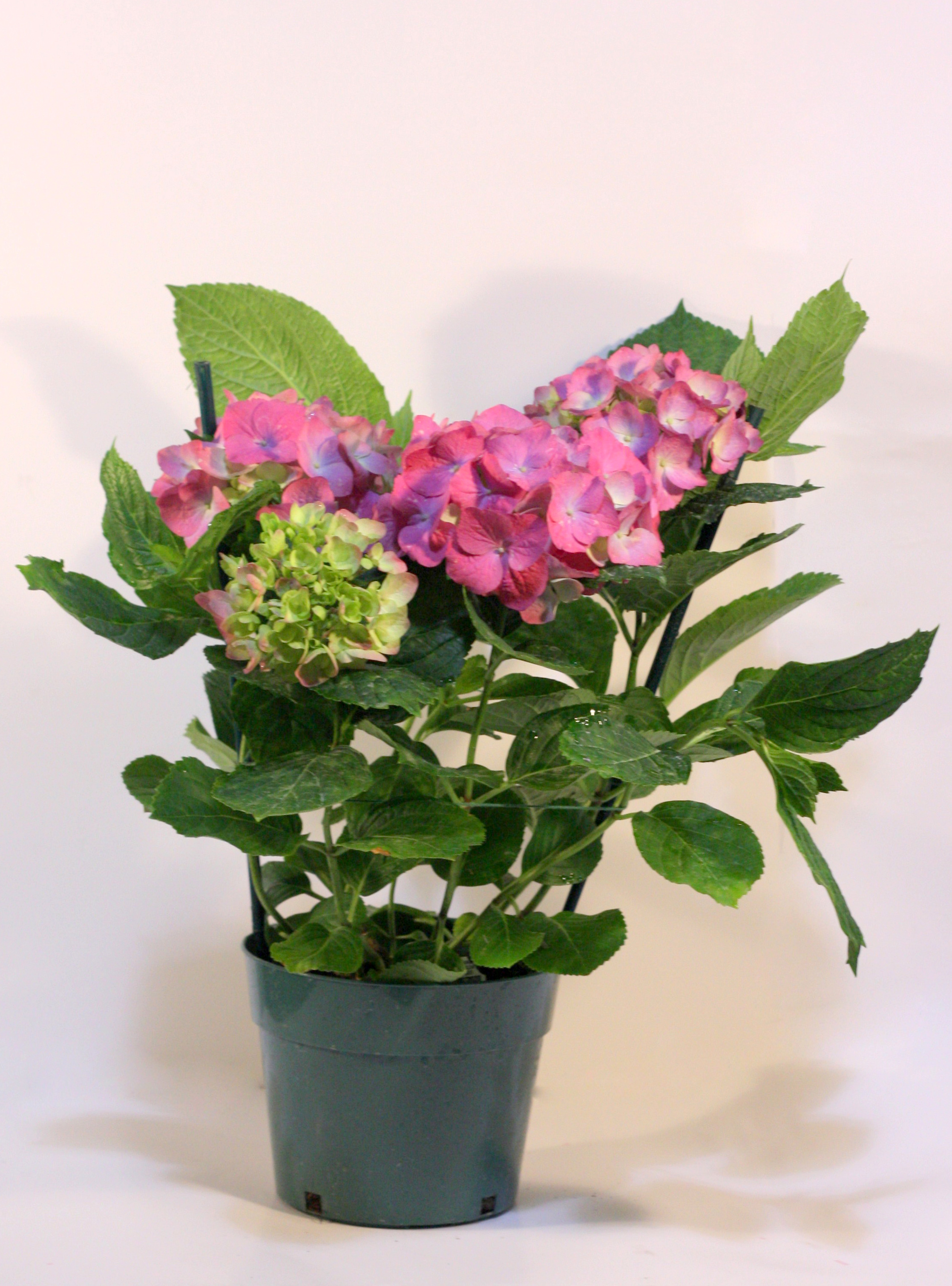 How Can You Change The Color Of Hydrangeas Pennock Floral