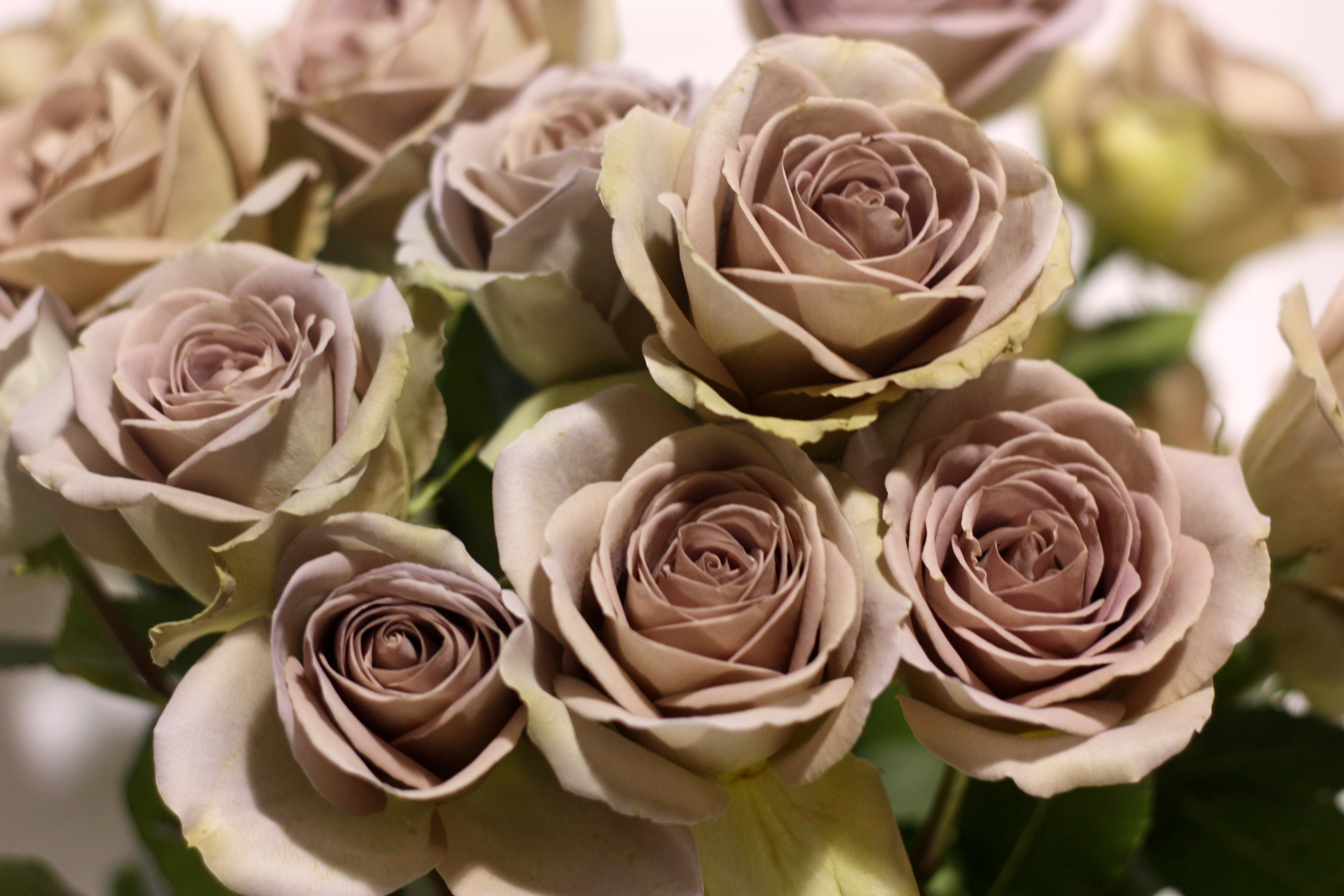 Amnesia rose pennock floral for Roses to colour in
