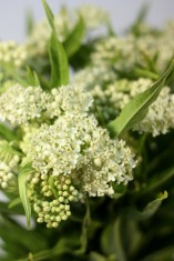 Asclepias IN Ice Ballet White
