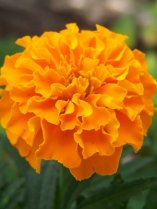 marigold_orange