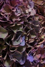 Hydrangea Antique Purple