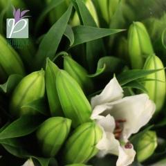 Lily Oriental Siberia 3-4hd