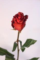 Terra Cotta Rose