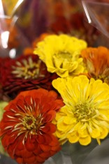 Zinnia Assorted