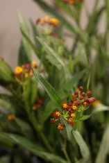 Asclepias Assorted