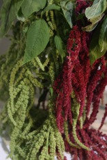Amaranthus Hanging Red and Green