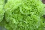 Carnation Fancy Green