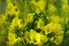 Fressia Yellow