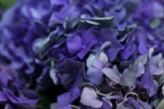 Hydrangea Glowing Alps Purple