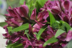 Alstroemeria Simona Super Select