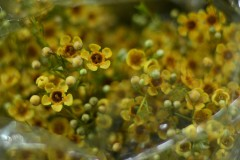 Waxflower Tinted Orange