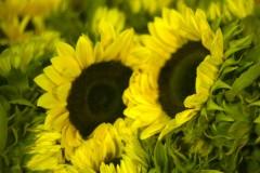 Sunflower Sunrich Large