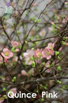 Quince Bracnches