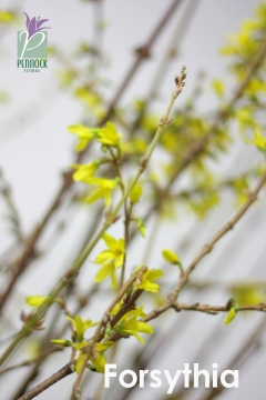 Blooming Branches Forsythia