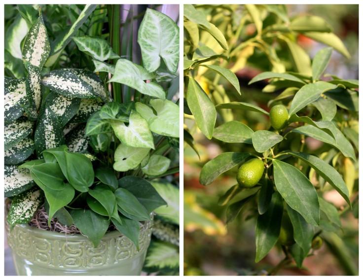 "Plant and Citrus kumquat ""Nagami"""
