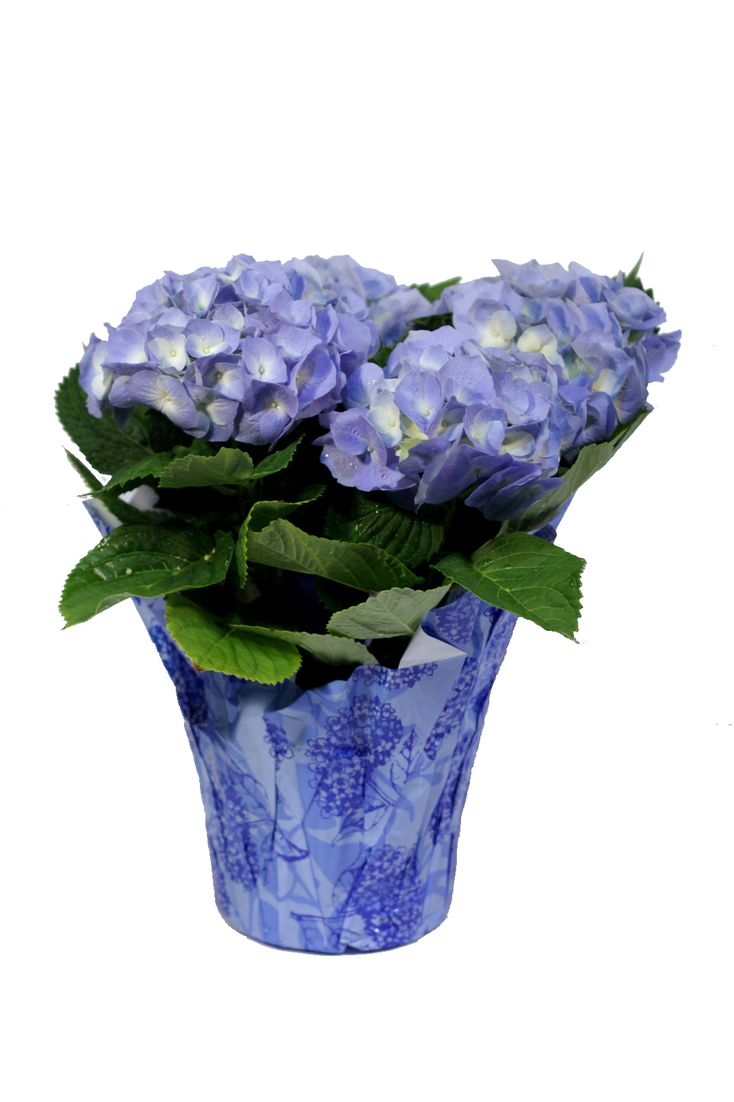 Easter plants pennock floral - Care potted hydrangea ...