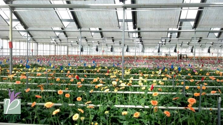 Rosa Flora Limited Farm
