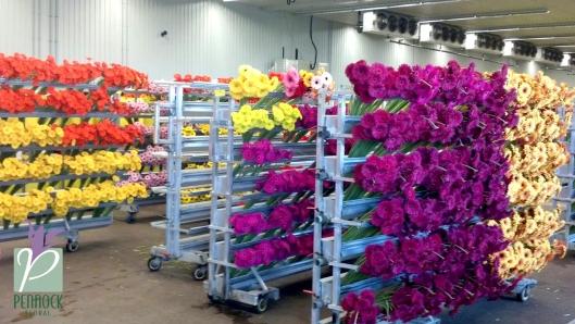 Rosa Flora Limited Farm Gerberas