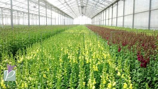 Rosa Flora Limited Farm Snap
