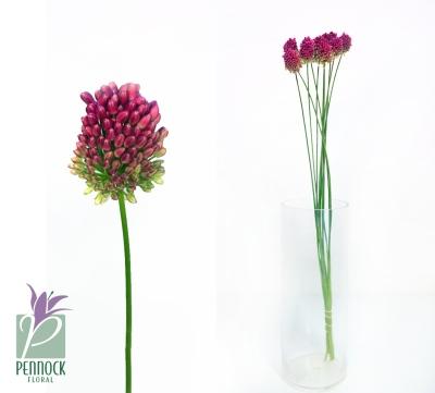 Allium Bullit Purple
