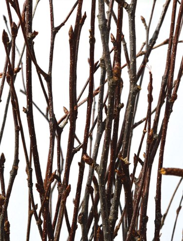 Natural Birch Bunch