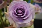 Blue Manhattan Rose