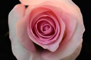 Pink Porcelain Rose