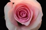 Pink Porcelain Rose